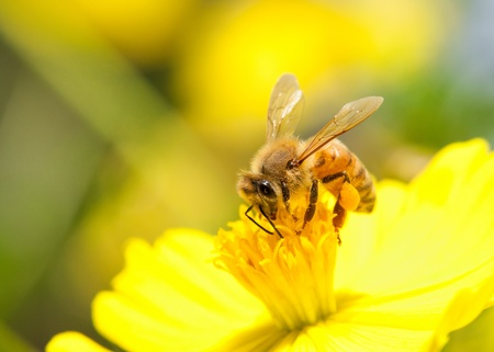 bee pollen: bee collecting nectar on yellow flower