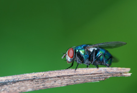 compound eyes: flies resting on plant twig