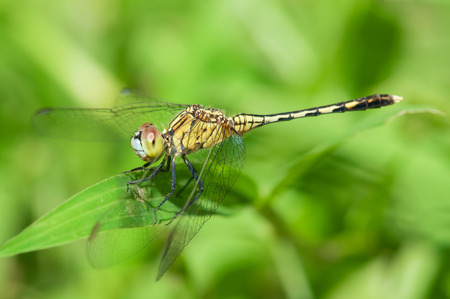 compound eyes: yellow-striped hunter dragonfly resting on leaf Stock Photo