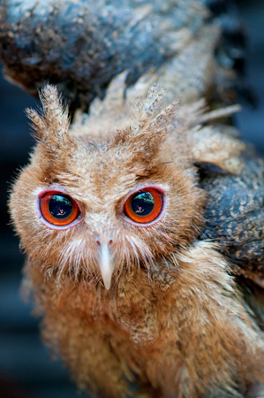 defensive posture: Philippine Eagle-Owl owlet assuming a defensive posture Stock Photo