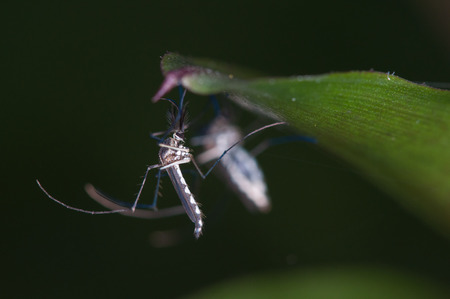 mosquitos: mosquitos clinging on the tip of a leaf