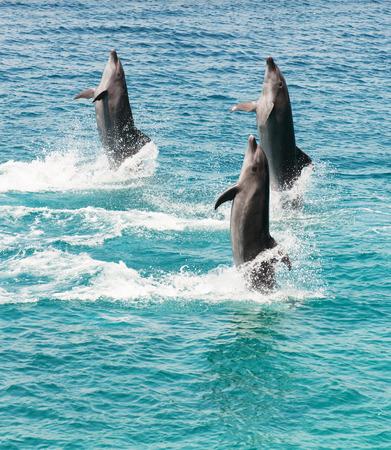 echolocation: three bottlenose dolphins walking backwards on the sea Stock Photo