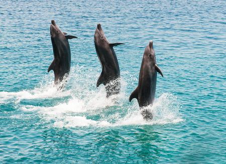 orificio nasal: tres delfines nariz de botella que hacen una exposición como caminar sobre el agua Foto de archivo