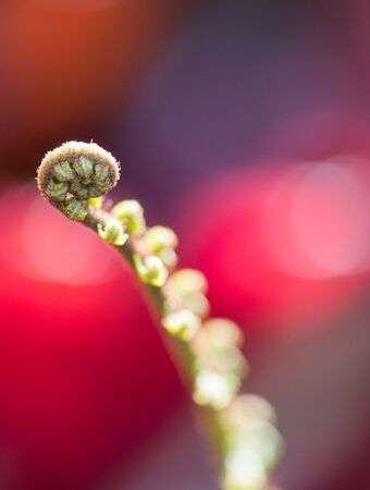 edible plant: unrolled fern tip on red background Stock Photo