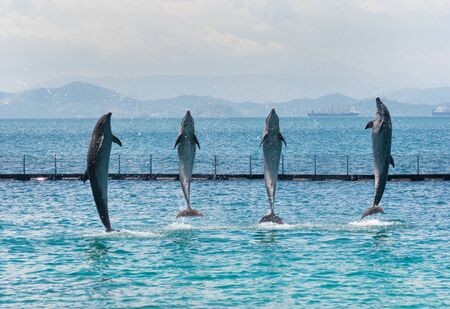 four bottle-nose dolphins coming out of the sea