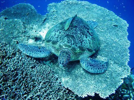 Sea turtle resting at hard coral at Bunaken, Manado, Indonesia photo