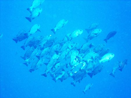 A school of fish off Bunaken Island Indonesia  photo