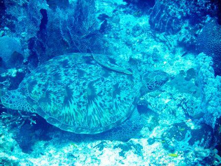 Sea turtle at Bunaken, Manado, Indonesia photo