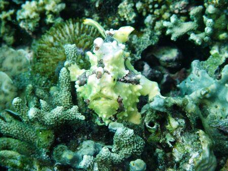 Frogfish photo took underwater off Manado island Indonesia photo