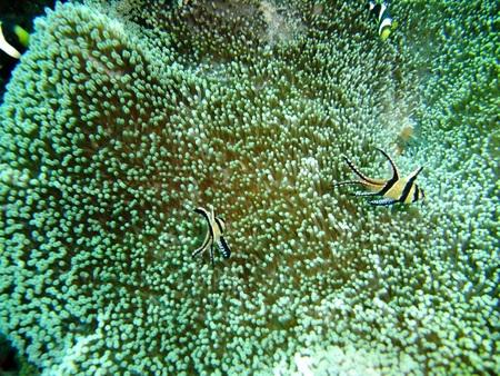 Cardinalfish and crown fish  swims in Lembeh Strait, Manado Indonesia. photo