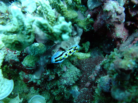 nudi: Colorful Nudibranchs underwater off Manado in Indonesia