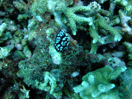 nudi: Colorful Nudibranchs underwater off Manado in Indonesia