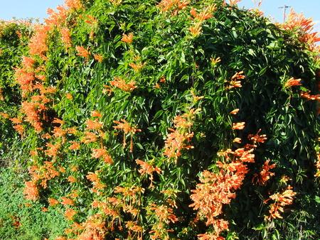 suckle: Orange Honey Suckle flower