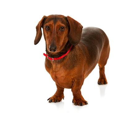 Veterinarian: Friendly Daschund Dog