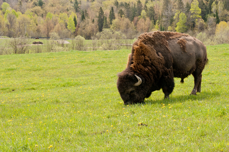 extant: Large male bison.