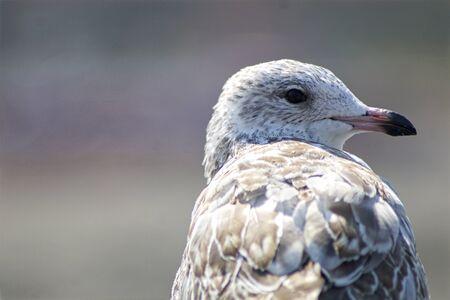 widlife: Seagull Closeup