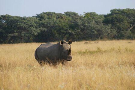 veld: Rhino standing alone in the veld Stock Photo