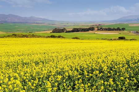 Field of Flowers - Western Cape, South Africa Stock Photo - 236488
