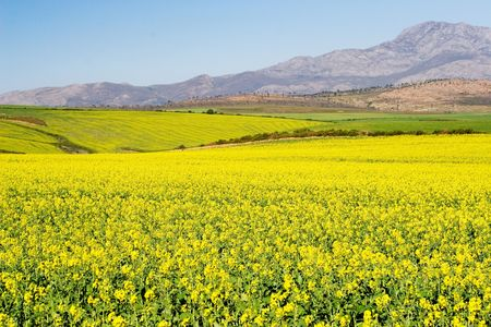 Field of Flowers - Western Cape, South Africa Stock Photo - 236487