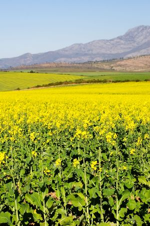 Field of Flowers - Western Cape, South Africa Stock Photo - 236486