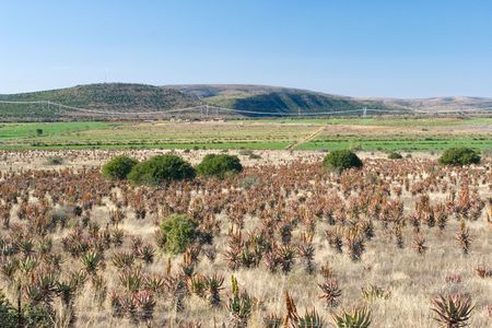 Flowering Aloes in an Aloe field - South Africa photo
