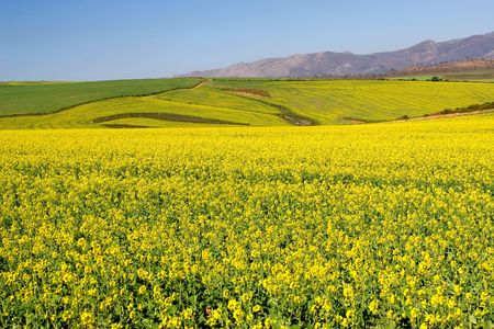 sou: Field of Flowers - Western Cape, South Africa Stock Photo
