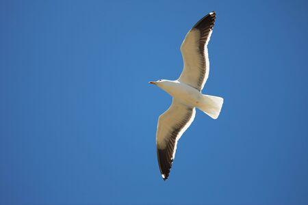 larus: Cape Gull (Larus Vetula) soaring, sun shining through feathers - Copy Space
