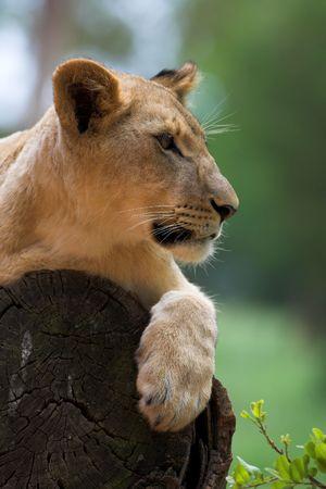 panthera leo: Leona (Panthera Leo) tumbado en un �rbol, Sud�frica