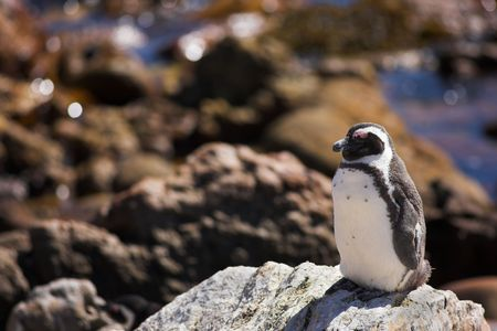 Jackass Penguins (Spheniscus demersus) from Stoney Point, Western Cape, South Africa photo