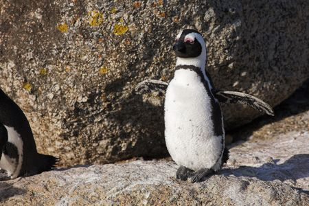 waddling: Jackass Penguins (Spheniscus demersus) from the Simons Town Colony, Western Cape, South Africa Stock Photo