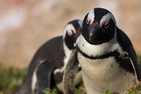 jackass: Jackass Penguins (Spheniscus demersus) from the Simons Town Colony, Western Cape, South Africa Stock Photo