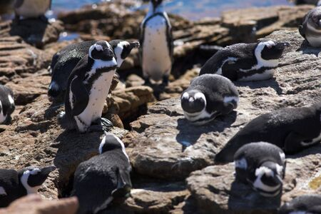 waddling: Jackass Penguins (Spheniscus demersus) from Stoney Point, Western Cape, South Africa Stock Photo