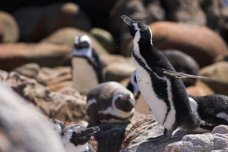 stoney point: Jackass Penguins (Spheniscus demersus) from Stoney Point, Western Cape, South Africa - Water Spray