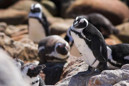 stoney point: Jackass Penguins (Spheniscus demersus) from Stoney Point, Western Cape, South Africa - Eyes Closed