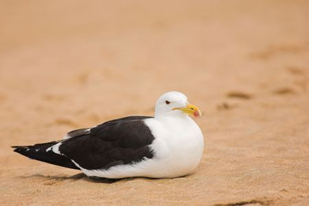 brooding: Cape Gull (Larus Vetula) brooding on a beach - Copy Space Stock Photo