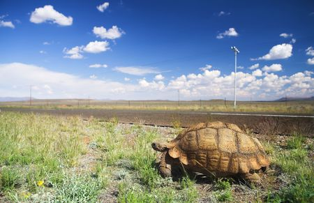 African tortoise walking next to a road in the Karoo, South Africa