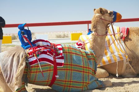 saddle camel: Robot controlled camel racing in the desert of Qatar, Middle East, on a sunny day. Racing camels warming up in the morning sun on the Racetrack. Focus on Remote controlled rider