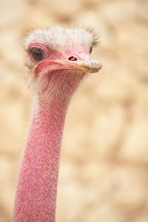 inquiring: Portrait of a female ostrich with copy space. Shallow Depth of Field  Stock Photo