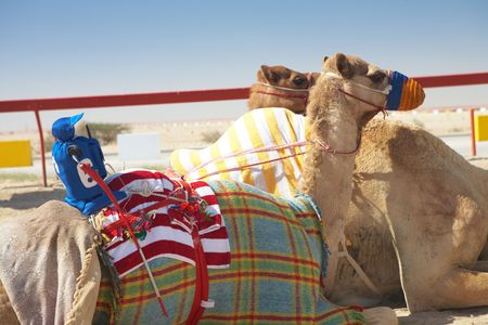 saddle camel: Robot controlled camel racing in the desert of Qatar, Middle East, on a sunny day. Racing camels warming up in the morning sun on the Racetrack. Focus on remote control rider