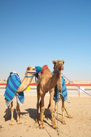 warming up: Robot controlled camel racing in the desert of Qatar, Middle East, on a sunny day. Racing camels warming up in the morning sun on the Racetrack