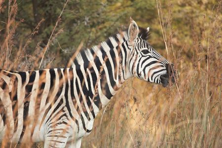Single zebra standing next to the road in a South African game reserve at sunset  photo