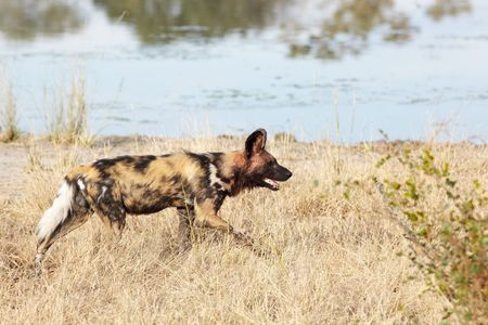 lycaon pictus: African wild dogs, Lycaon Pictus, running and playing in the african savannah. Movement on the edges, shallow Depth of Field Stock Photo