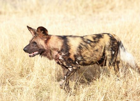 blotched: African wild dogs, Lycaon Pictus, running and playing in the african savannah. Movement on the edges, shallow Depth of Field Stock Photo