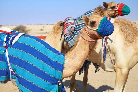 ロボット制御、カタール、中東の砂漠でのラクダのレース。朝の太陽のウォーミング アップは、ラクダレース 写真素材 - 5329306