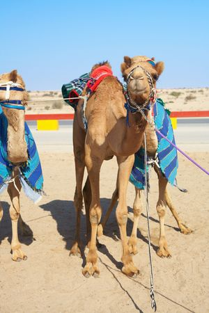 Robot controlled camel racing in the desert of Qatar, Middle East. Racing camels warming up in the morning sun  photo
