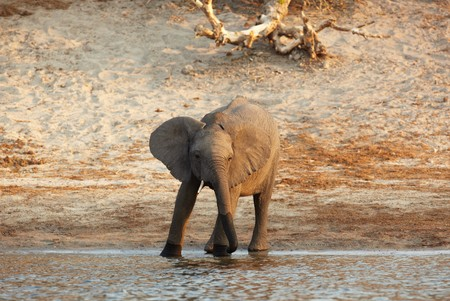 African elephant (Loxodonta Africana) on the banks of the Chobe River in Botswana drinking water and playing in the mud Stock Photo - 7788691