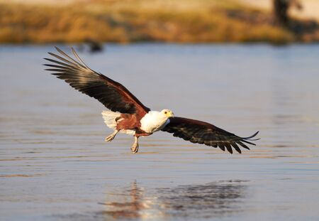 chobe: Fish eagle attempting to catch a fish in the Chobe river in Botswana in Southern Africa
