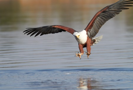 Fish eagle attempting to catch a fish in the Chobe river in Botswana in Southern Africa