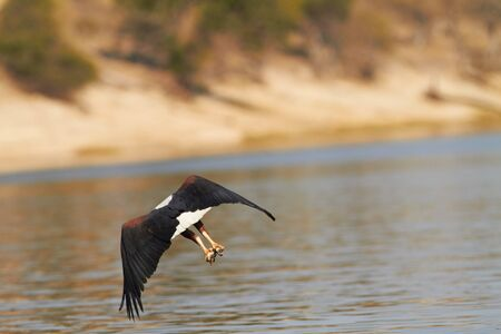 Fish eagle attempting to catch a fish in the Chobe river in Botswana in Southern Africa photo