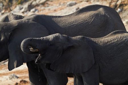 Una manada de elefantes africanos (Loxodonta Africana), a orillas del río Chobe en agua potable de Botswana  Foto de archivo - 7788683